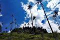 Palmy voskové