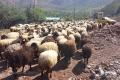 Stáda oveček