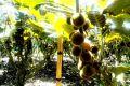 Ovoce lulo