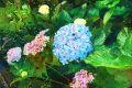 Pro Azory typické hortenzie
