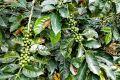 Zelené kávové boby